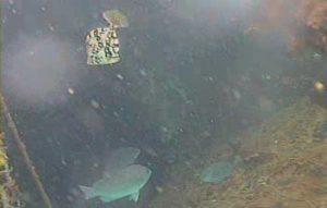 勝山漁港 水中写真03 メジナ カワハギ
