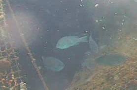 勝山漁港 水中写真04 メジナ