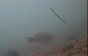 乙浜港 水中写真03 ウミタナゴ