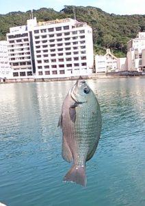 小湊港 釣果 メジナ