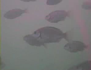 小湊港 水中写真05 ギンガメアジ