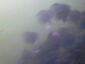 浮島つり園 水中写真05 メジナ クロダイ