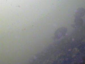 浮島つり園 水中写真09 メジナ クロダイ