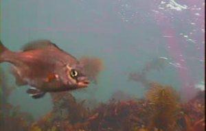 江奈高磯 水中写真01 ウミタナゴ