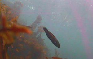 江奈高磯 水中写真06 ベラ