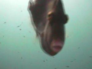 木負堤防 水中写真01 カワハギ