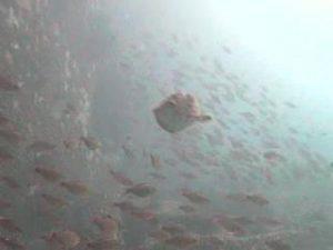 木負堤防 水中写真05 カワハギ