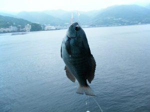 網代港 釣果 メジナ
