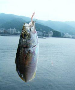 網代港 釣果 アジ02
