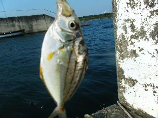 平塚漁港 釣果 ヒイラギ