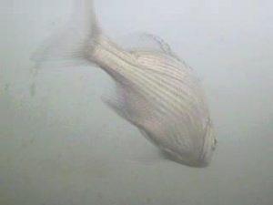 平塚漁港 水中写真01 クロダイ