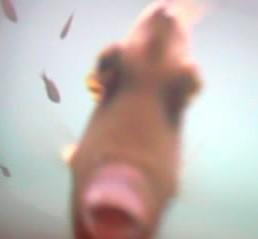 伊東港 水中写真09 陽気なカワハギ