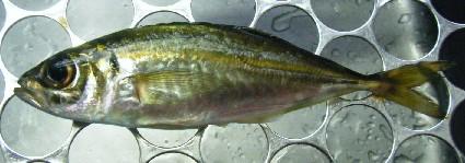 uchiura20