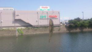 千鳥町ホームセンター横 釣果02 ハゼ