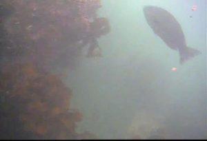 芝浦埋立地護岸 水中写真04 巨大メジナ
