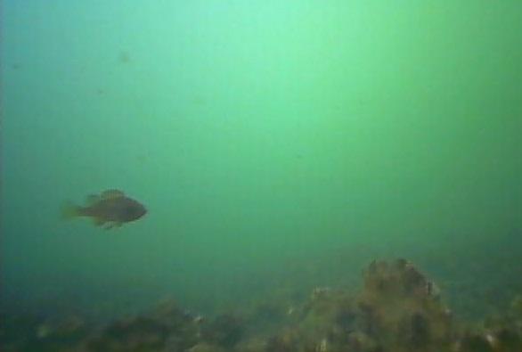 ポートサイド公園 水中写真07 メバル