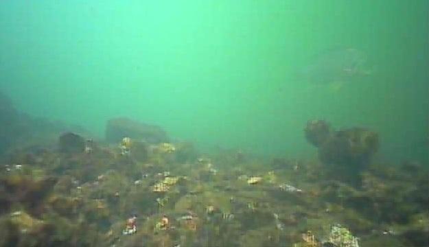 ポートサイド公園 水中写真04 クロダイ