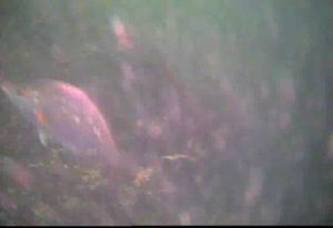 鹿島港魚釣園 水中写真03 ウミタナゴ
