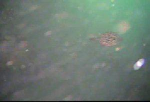 鹿島港魚釣園 水中写真05 カワハギ