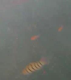 金谷漁港 水中写真02 キヌバリ