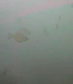 金谷漁港 水中写真03 ウミタナゴ