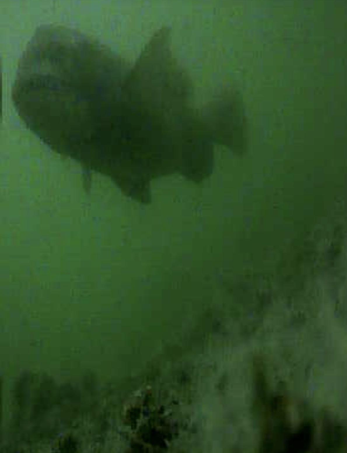 大阪 泉大橋下 水中写真クロダイ01