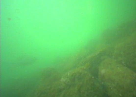 浜名湖 新居海釣公園 水中写真クロダイ