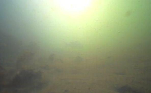 高島水際線公園 水中写真04 クロダイ