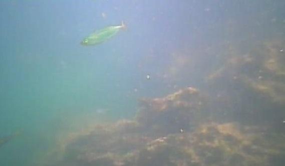 明鐘岬 水中写真07