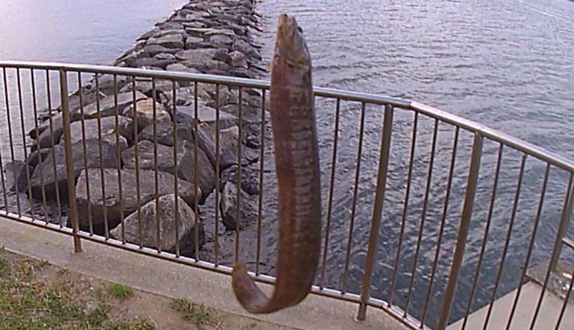 野島公園 釣果 ギンポ01