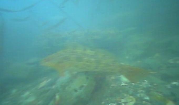 御宿岩和田漁港 水中写真 アイナメ