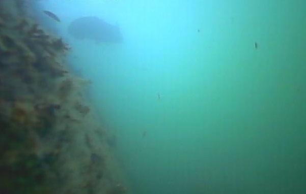 八景島シーパラダイス前 水中写真クロダイ01