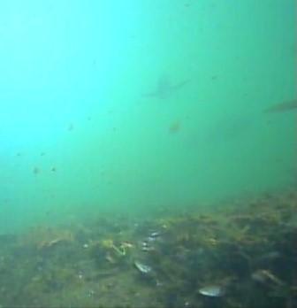 八景島シーパラダイス前 水中写真クロダイ05
