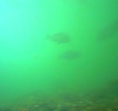 八景島シーパラダイス前 水中写真クロダイ03