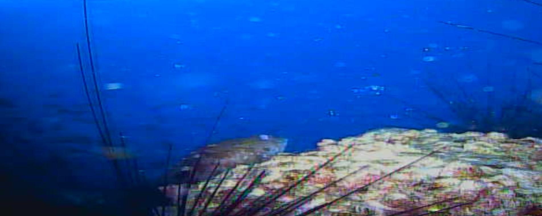 足保港 水中写真 カサゴ