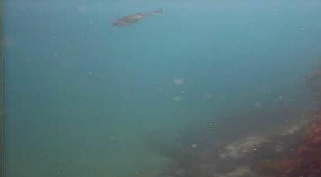 城ヶ島 水垂 水中写真02 アオリイカ