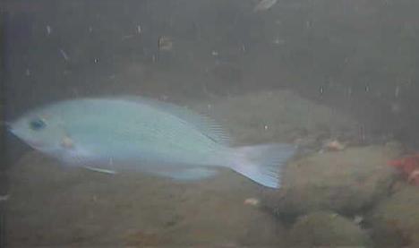 梅沢海岸 水中写真 メジナ02