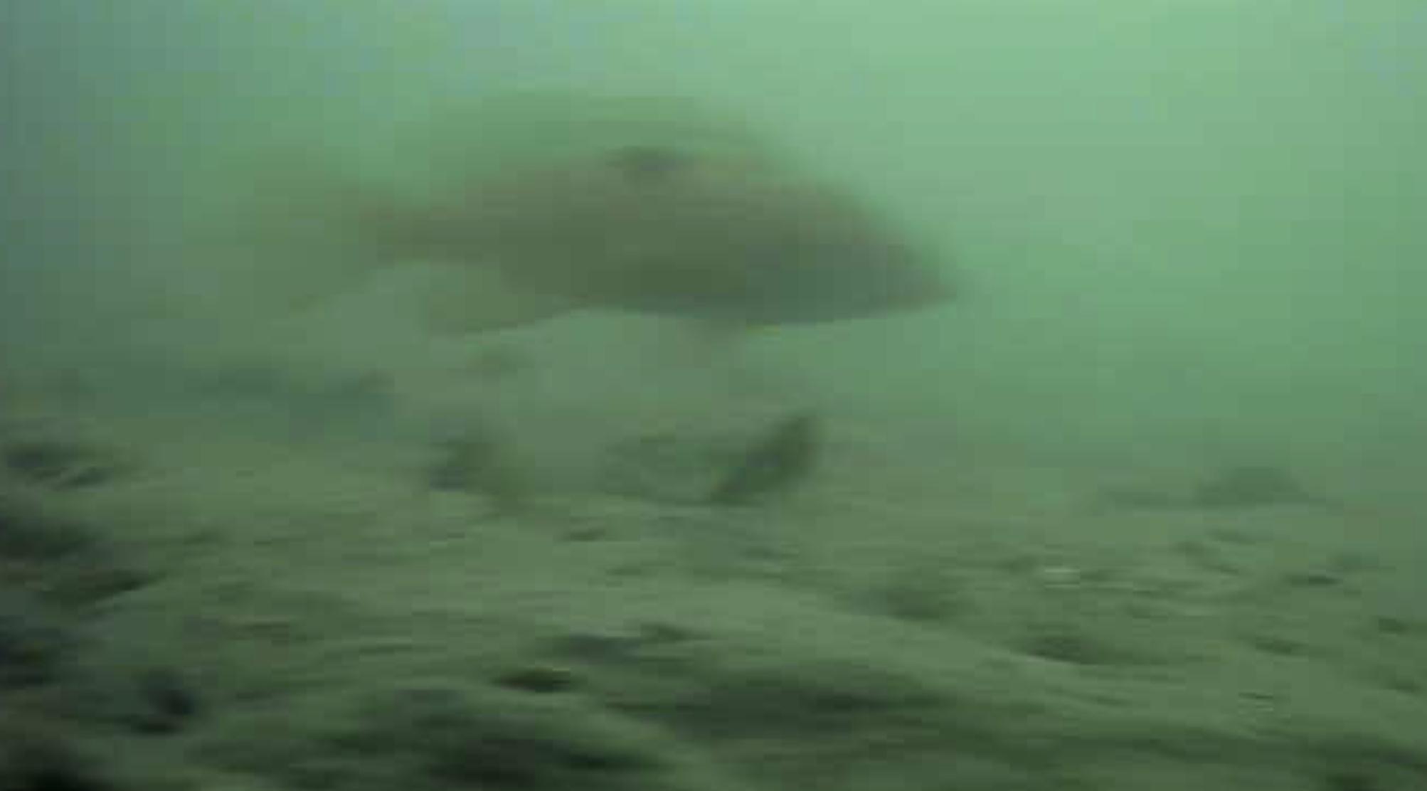 高松G地区水中写真 キジハタ