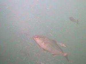 川津港 水中写真01 カンパチ