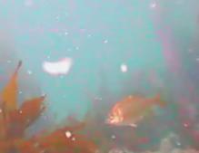 富浦港 水中写真03 ウミタナゴ
