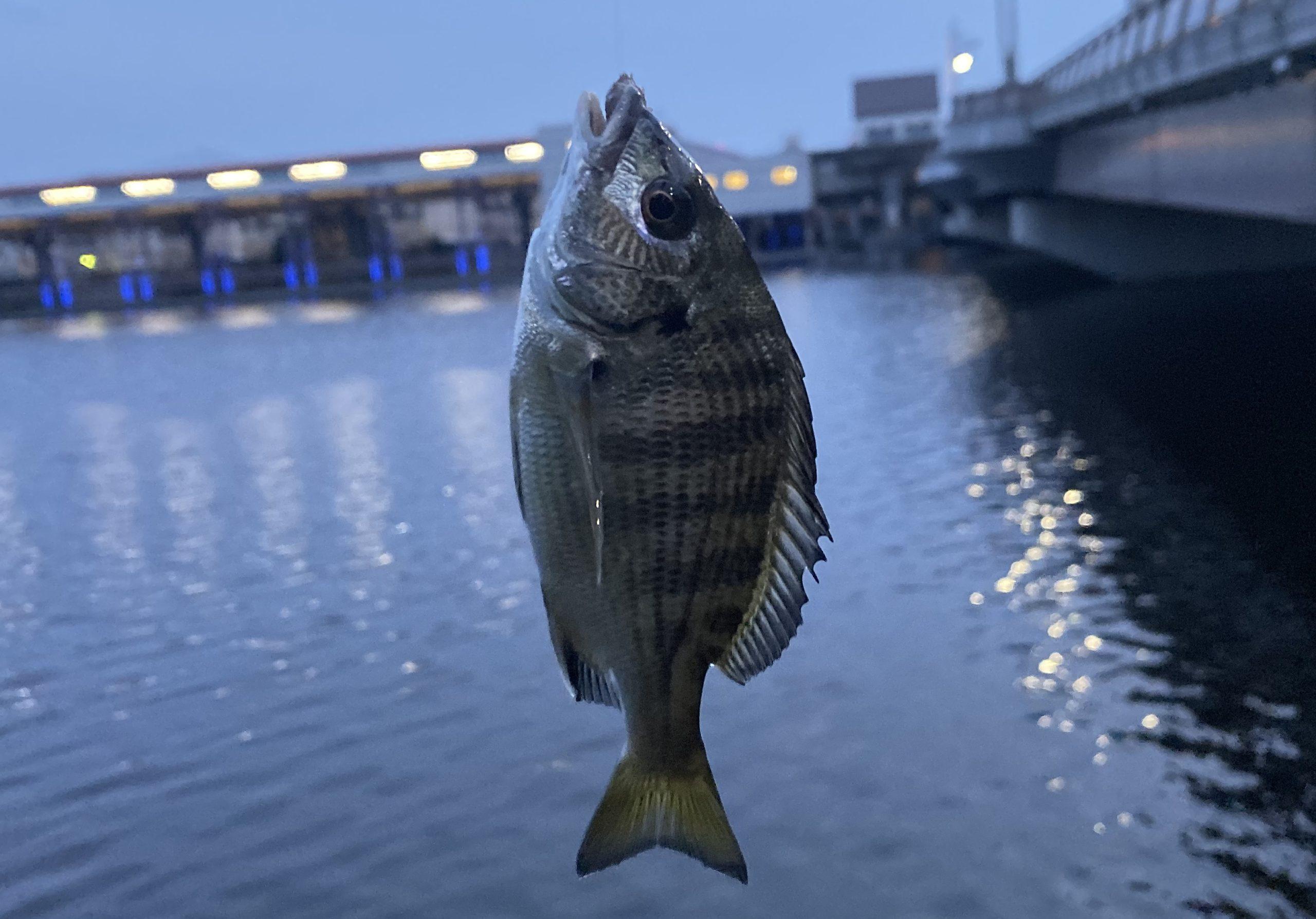 大井ふ頭中央海浜公園 釣果カイズ