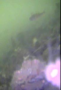 波崎新漁港 水中写真03 メバル