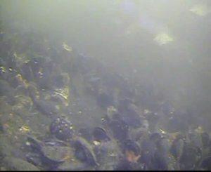 新港パーク 水中写真02 海底 ウミタナゴ