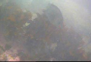 芝浦埋立地護岸 水中写真06 巨大メジナ