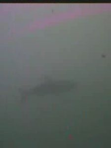 大井川港 水中写真03 巨大魚