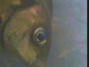 原港 水中写真11 アイゴ