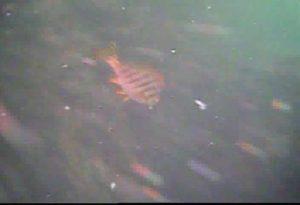 鹿島港魚釣園 水中写真04 タカノハダイ