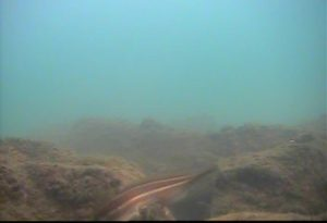 龍島港 水中写真06