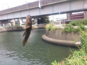 真間川水門 釣果