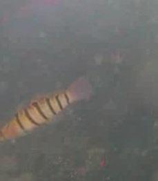 金谷漁港 水中写真01 キヌバリ